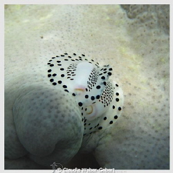egg cowry by Claudia Weber-Gebert 